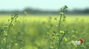 Canola prices soaring in Canada amid poor growing conditions (01:25)