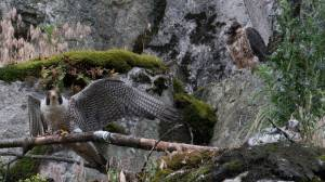 Fraser Valley quarry work sparks concerns about rare peregrine falcon (01:59)