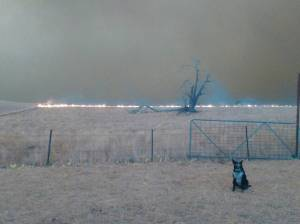 Heroic dog herds 900 sheep to safety from Australian bushfires