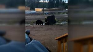 Fewer bear sightings expected for rest of summer: Sask. conservation officer