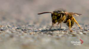 Calgary pest control experts seeing more wasp calls this summer (01:39)