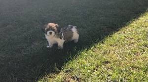 Puppies stolen from Abbotsford B.C. home