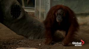 Toronto Zoo orangutan celebrates 52nd birthday