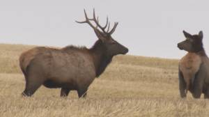 How to stay safe while hiking during elk rutting season (03:59)
