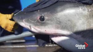 Massive shark caught and tagged off Nova Scotia