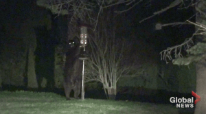 Black bear in Port Hope dismantles bird feeder in yard