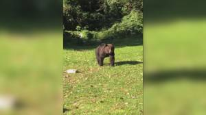 Grizzly bear captured in Squamish neighbourhood (01:00)
