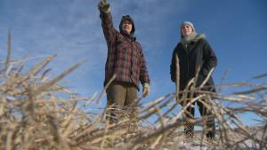 Sask. farmer weighs in on brown winter conditions