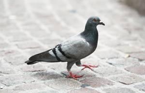 Wildlife rehabilitation calls for city to ban toxins poisoning pigeons in Saskatoon (01:41)