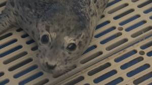 Update on rescued seal pup
