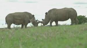 Kenyan rhinos face new threat of antibiotic resistance