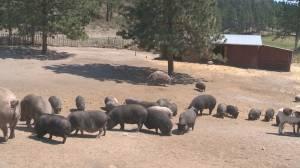 Okanagan pig sanctuary seeking help in case of wildfire evacuation (01:57)