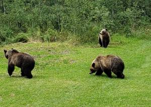 3 grizzlies spotted in Alberta woman's backyard