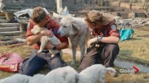 Lytton wildfire survivors relieved animals found alive (01:17)