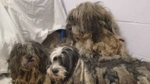 119 dogs surrendered to SPCA near Fort Nelson (00:38)