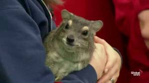 Meet 'Mokey' the bush hyrax from Edmonton Valley Zoo