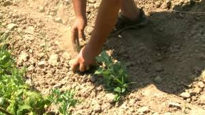 Could this be Manitoba's driest year on record? (00:49)