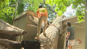 Dozens working to remove century-old downed tree in Toronto's Beach neighbourhood