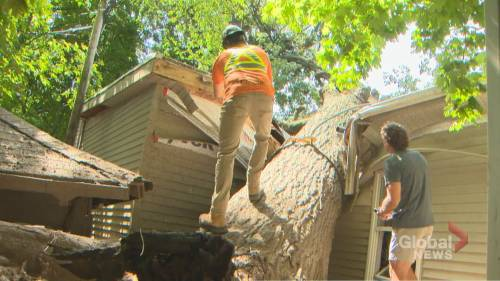 Dozens working to remove century-old downed tree in Toronto's Beach neighbourhood | Watch News Videos Online