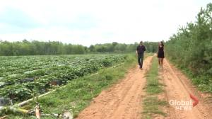 Hot weather and pandemic putting strain on Maritime farms (02:04)