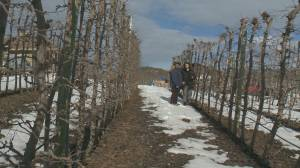 Okanagan apple growers say then are in financial trouble