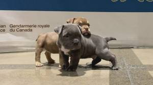 Stolen American Bulldog puppies returned to owner and mother (00:27)