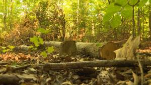 Kingston man concerned about trees cut down on municipal land
