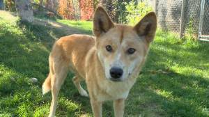 Getting to know the dingoes at the Saskatoon zoo