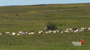 Blood Tribe first reserve in Canada to use goats to fight invasive weeds (01:45)
