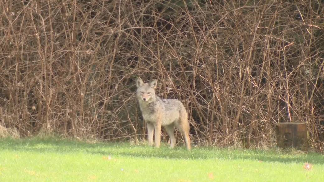 'Conservation officers euthanize 4  Stanley Park coyotes, looking for more'