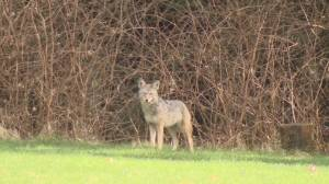 Conservation officers euthanize four Stanley Park coyotes, looking for more (01:45)