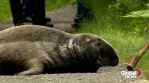 Large grey seal rescued from Shubie Park in Dartmouth (02:07)