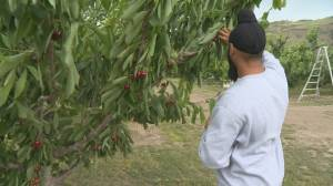 'There's always a risk': Cherry growing in the Okanagan a high-stakes gamble