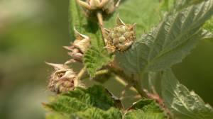 'We're struggling a bit': Slim pickings for berries as heat bakes Saskatchewan for next week (01:40)
