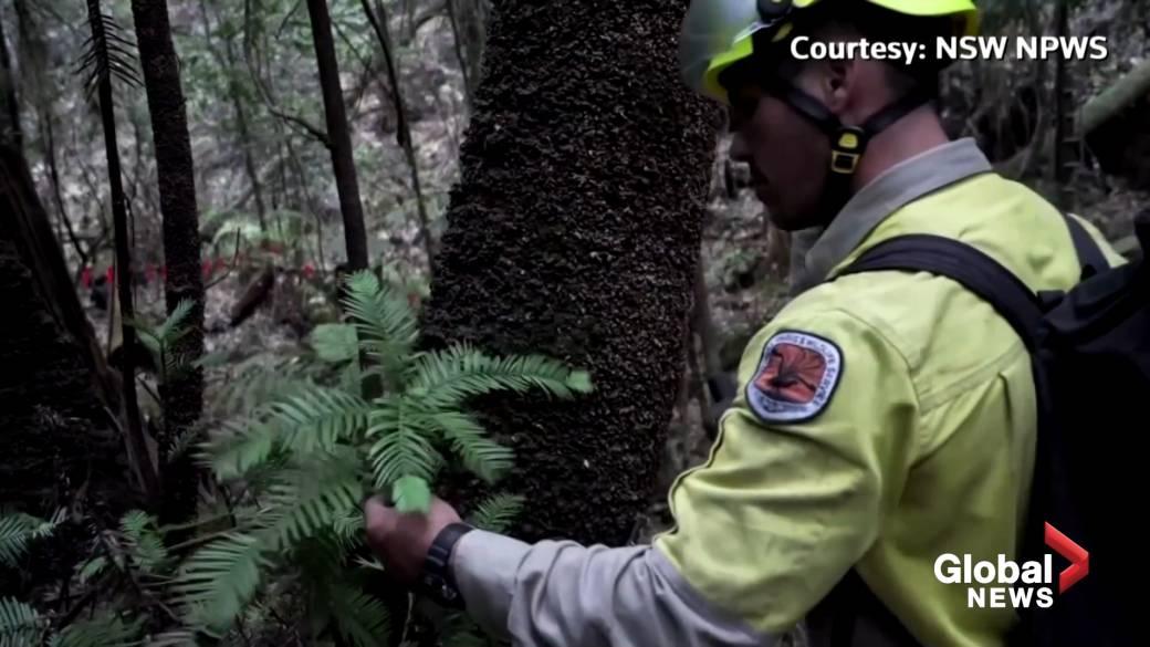 World's last 'dinosaur trees' rescued from wrath of Australian fires