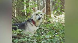 Coquitlam man reunited with his stolen dog Kali (00:43)