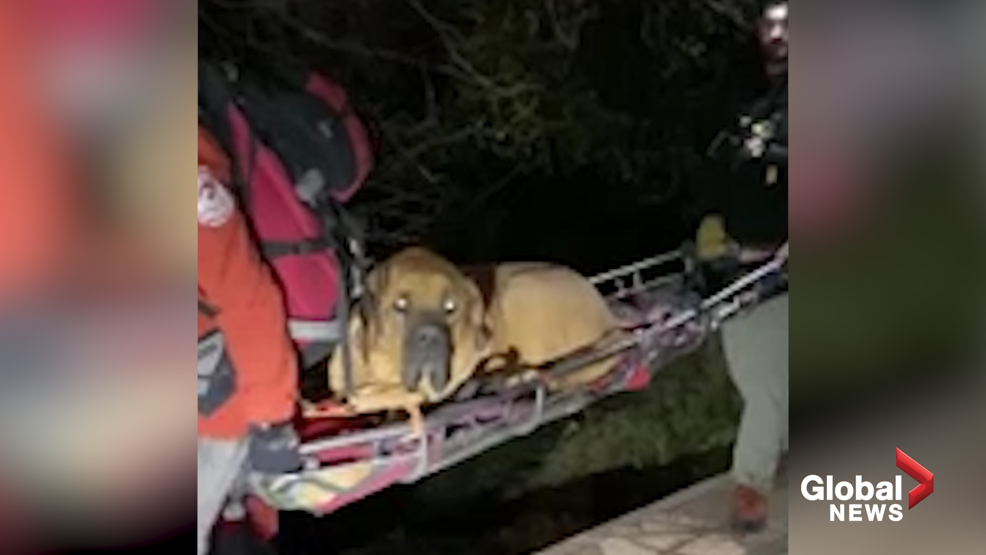 Giant mastiff Floyd needs rescuing after getting too tired to finish hike