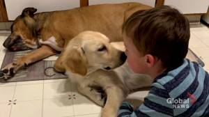 'It just breaks my heart': Calgary family appeals for return of boy's support dog (01:45)