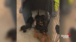 BC SPCA seize nearly 40 dachshunds from Kamloops property (00:33)