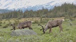 Splatsin concerned after study finds accelerating woodland caribou habitat loss (02:14)