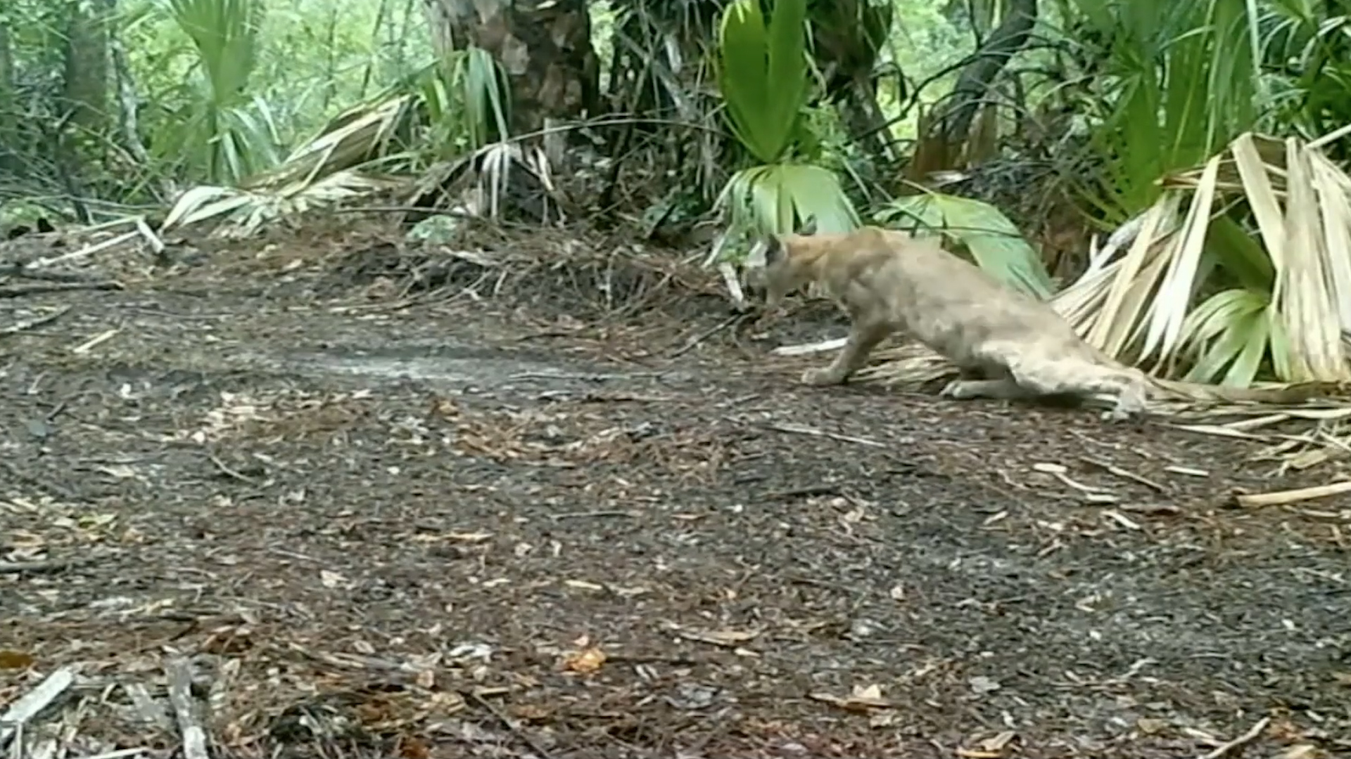 Florida officials investigating why panthers are seen stumbling and falling down
