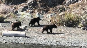 Bear sightings more common in Central Okanagan (02:21)