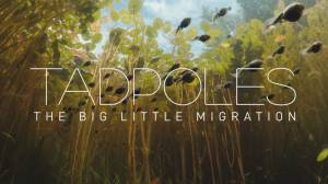 B.C. filmmaker produces fascinating mini-documentary on daily tadpole migration