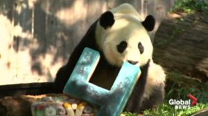 BeiBei the giant panda turns four