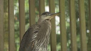 Two great blue herons survive rookery collapse in Tsawwassen