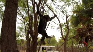 Canadian philanthropist in Africa to rescue chimps (03:31)