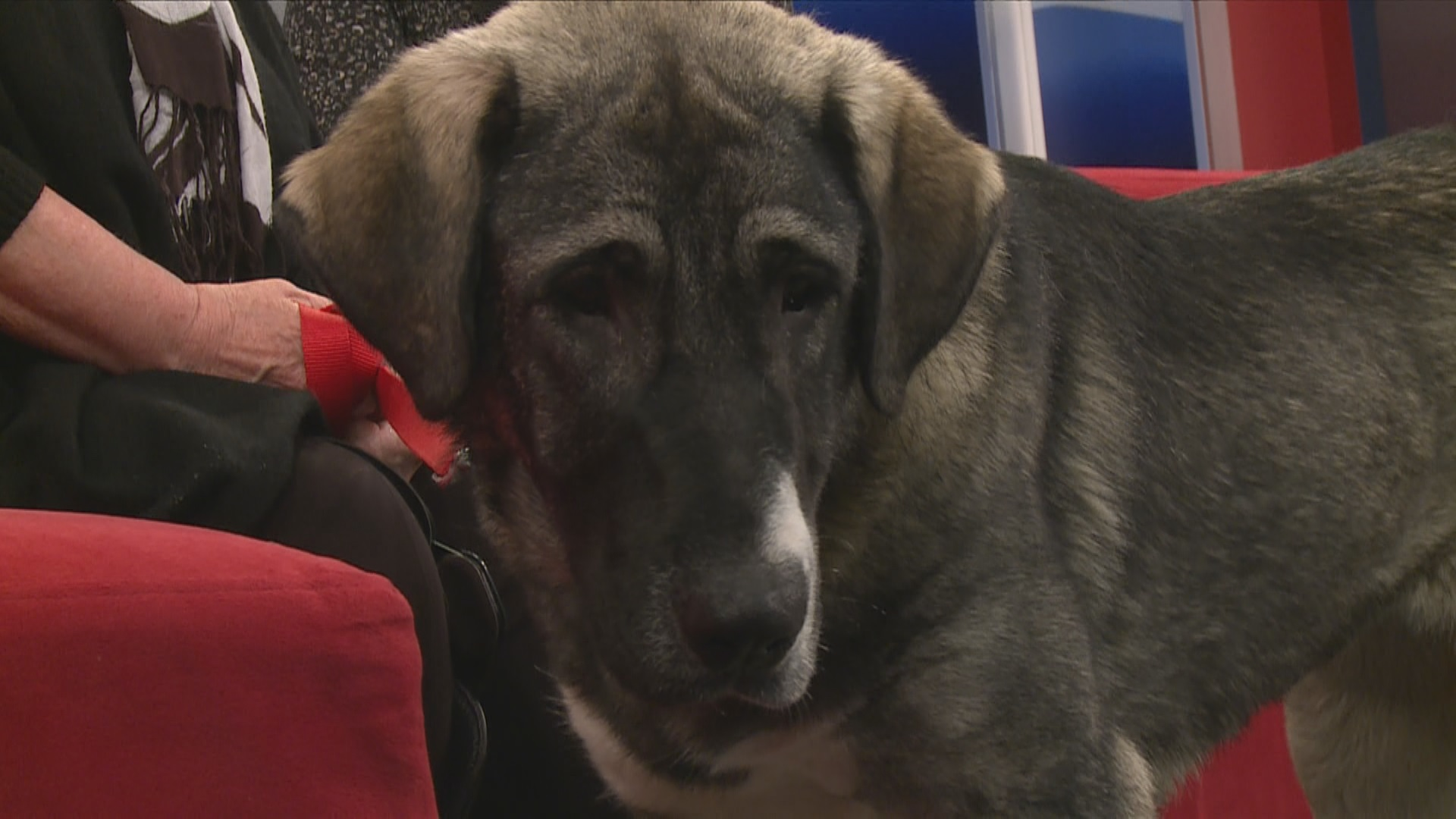 Adopt a pet: Puma the Kangal Canine