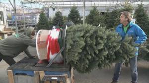 Christmas tree prices soar in Quebec (01:57)