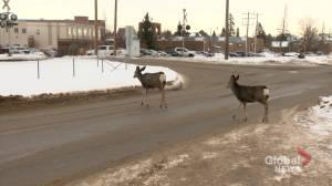 Okotoks tackles aggressive deer incidents