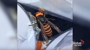 2 more 'murder hornets' spotted in Washington state